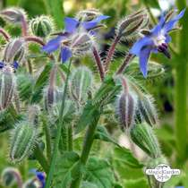 Borretsch (Borago officinalis) konventionell #1