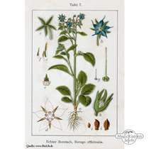 Borretsch (Borago officinalis) konventionell #5