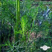 Dill (Anethum graveolens) konventionell #0