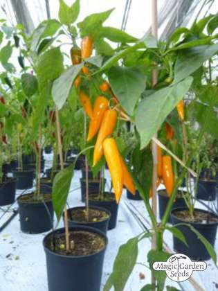 Chili 'Bulgarian Carrot' (Capsicum annuum)