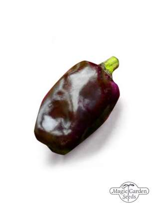 Dunkelvioletter Chili 'Purple Tiger' (Capsicum annuum)
