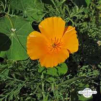 Kalifornischer Goldmohn (Eschscholzia californica) #1