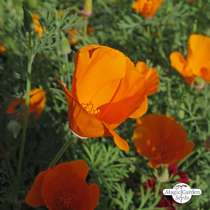 Kalifornischer Goldmohn (Eschscholzia californica) #3