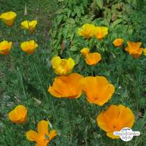 Kalifornischer Goldmohn (Eschscholzia californica) #0