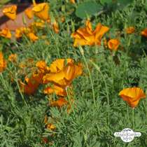Kalifornischer Goldmohn (Eschscholzia californica) #5