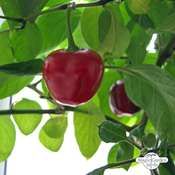 Paprika 'Topepo Rosso' (Capsicum)