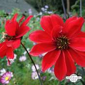 Dahlia 'Bishop's Children' (Dahlia variabilis) Bio